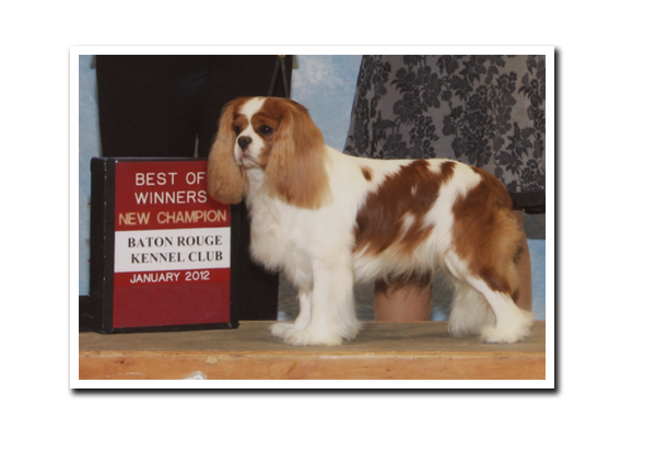 Champion Cavalier King Charles Spaniel Dallas Fort Worth