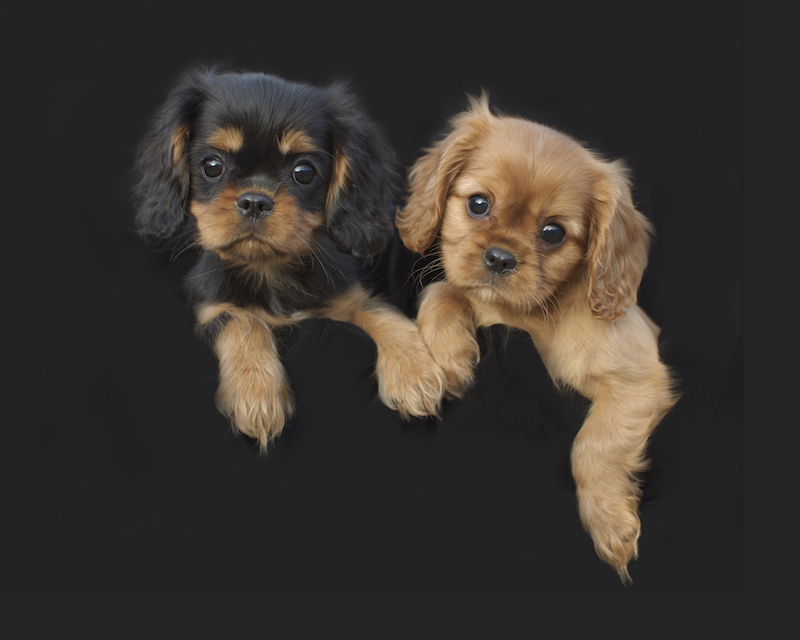 Black & Tan; Ruby; Cavalier King Charles Spaniel puppies