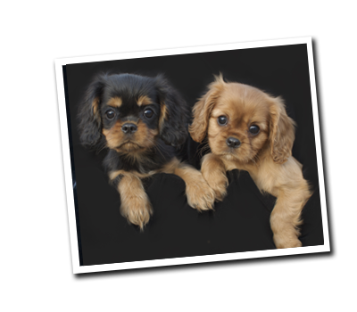 Wholecolor Cavalier King Charles Spaniel Puppies Dallas