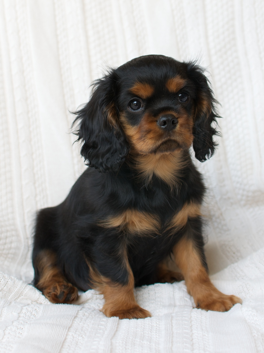Cavalier King Charles Spaniel Black And Tan Puppy | www ...