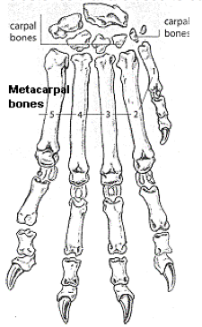 Figure 2: The seven carpal bones fit together like fjeldstones in a wall