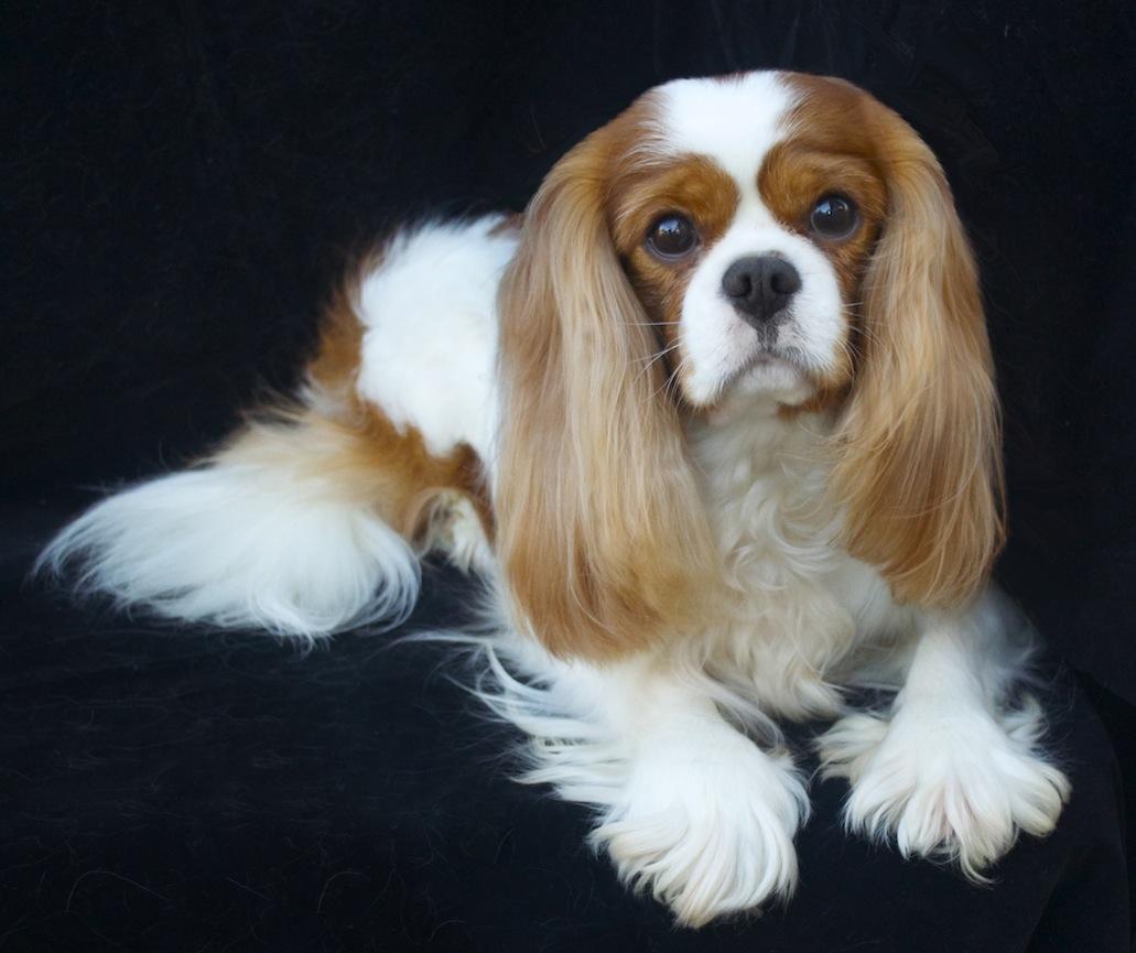 Portrait of Doug, windy blenheim cavalier king charles spaniel studdog
