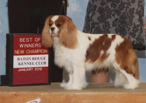 Portrait of Doug, windblown blenheim cavalier king charles spaniel stud dog.