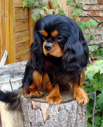black & tan Cavalier Dog