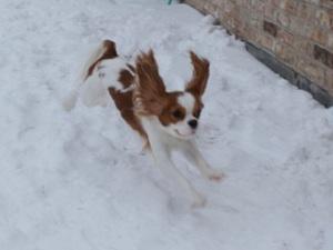 Flying Cavalier King Charles Spaniel Blenheim in the snow