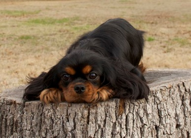 Cavalier King Charles Spaniel adorable black and tan