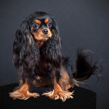 Black and tan cavalier king charles spaniel dog sitting
