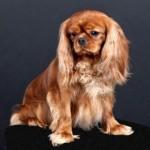 Stud Ruby Cavalier King Charles Spaniel, New N'Golden Perle Du Sahel