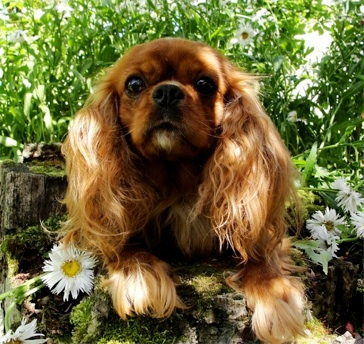 Venezia of Woodville, Ruby Cavalier King Charles Spaniel