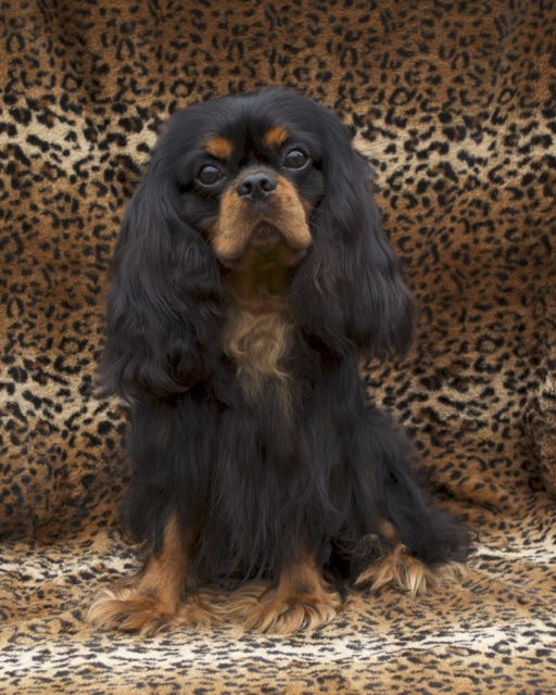 Champion Bloodline Cavalier King Charles Spaniel