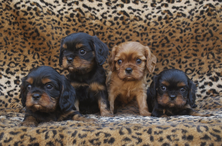 Black & Tan and Ruby Cavalier King Charles Spaniel Puppies