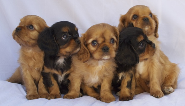 A Cuddle of Cavaliers?