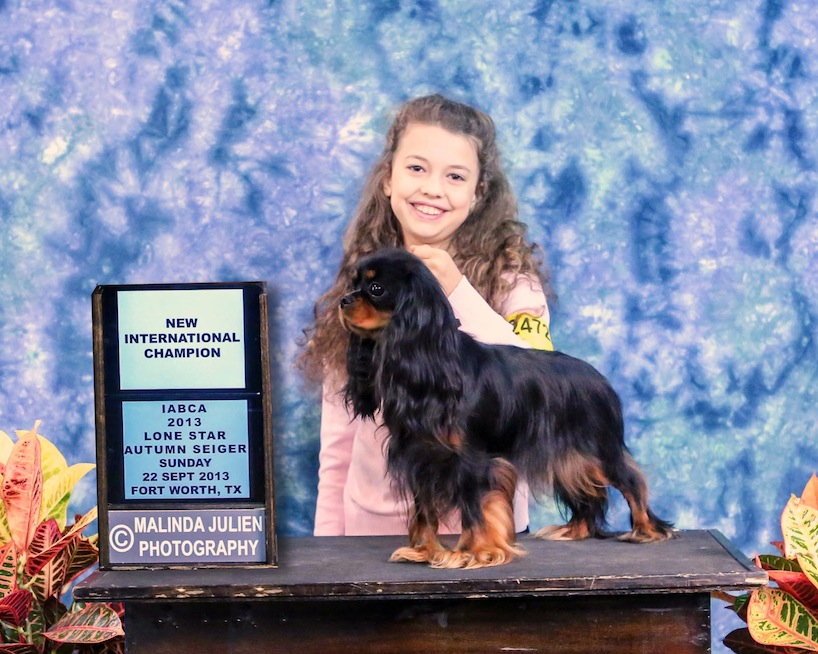 Champion Black and tan cavalier king charles spaniel