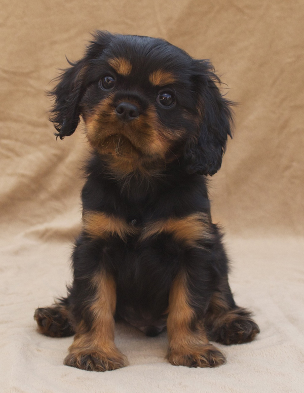 Black & Tan Cavalier King Charles Spaniel Puppy