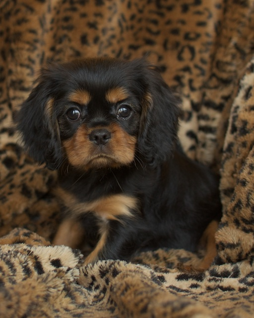 Black & tan cavalier king charles spaniel dog sitting
