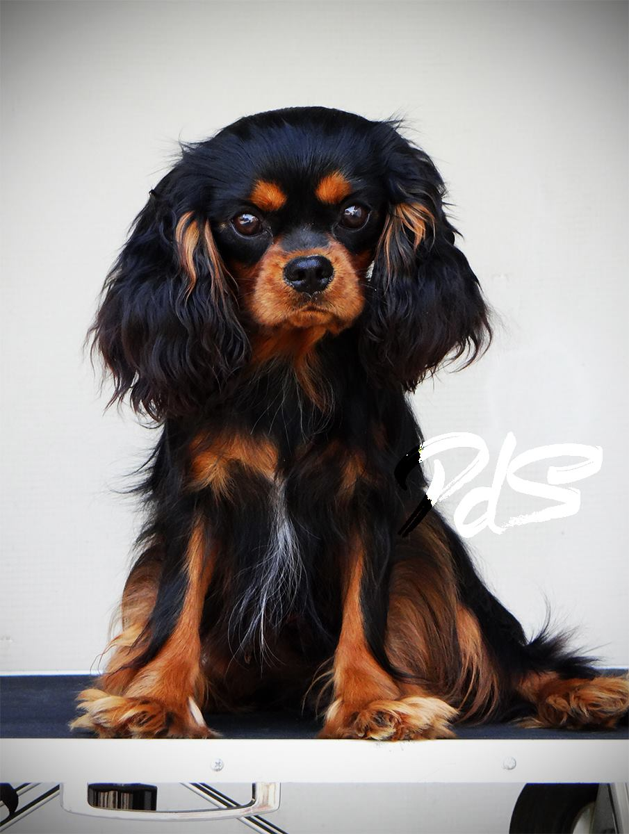 black & tan cavalier king charles spaniel dog sitting