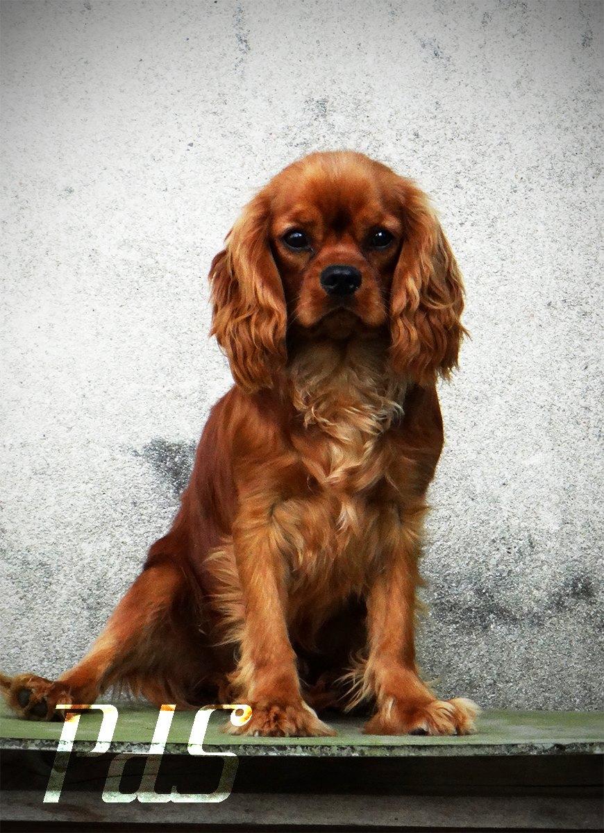 Ruby Male Cavalier King Charles Spaniel